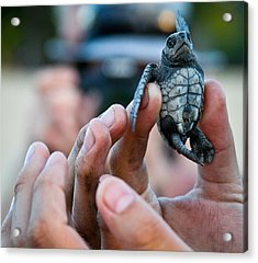 Turtle Release In San Pancho Acrylic Print by Atom Crawford