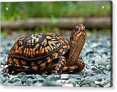 Turtle Shine Acrylic Print