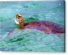 Turtle Time  Acrylic Print by Karen Wiles