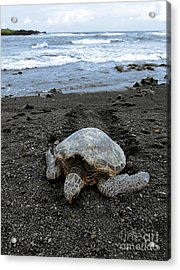Turtle Tracks Acrylic Print by David Taylor