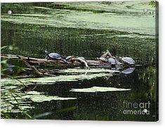 Turtles On Log Scarboro Pond#1  Acrylic Print by Gordon Gaul