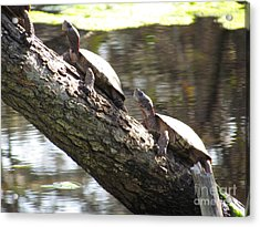 Turtles On The Move Acrylic Print by Bonnie Muir