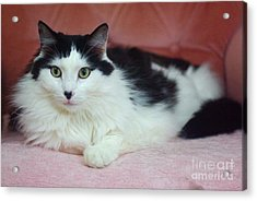 Tuxy In Repose Acrylic Print by Byron Varvarigos
