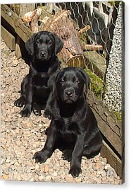Twin Black Labrador Puppies Acrylic Print by Richard James Digance