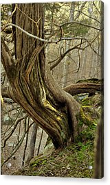 Twisted Cedar Acrylic Print by Marty Koch