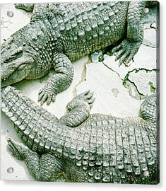 Two Alligators Acrylic Print by Yasushi Okano
