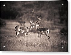 Two Antelopes Together In A Field Acrylic Print by David DuChemin