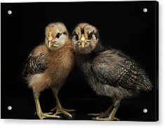 Two Baby Chicks Acrylic Print by Monica Fecke