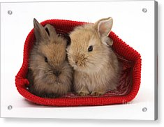 Two Baby Lionhead-cross Rabbits Acrylic Print by Mark Taylor