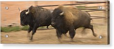 Two Bison Race Each Other Acrylic Print by Ralph Lee Hopkins