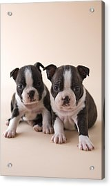 Two Boston Terrier Puppies Acrylic Print by Mixa