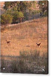Two Bucks On The Run Acrylic Print by Yumi Johnson
