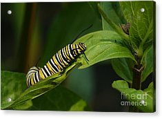 Two Caterpillars Acrylic Print