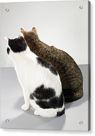 Two Cats Sitting Side By Side, Rear View Acrylic Print by Michael Blann