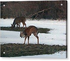 Two Deer Grazing Acrylic Print by Cedric Hampton
