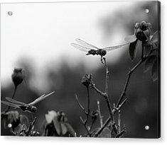 Two Dragonflies Acrylic Print
