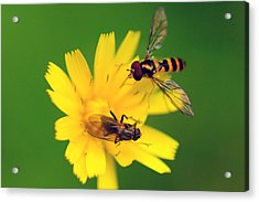 Two Flies Pollinate A Yellow Flower Acrylic Print by Darlyne A. Murawski