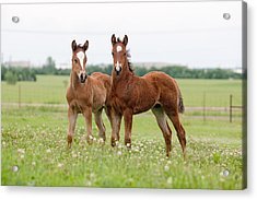 Two Foals Standing Acrylic Print