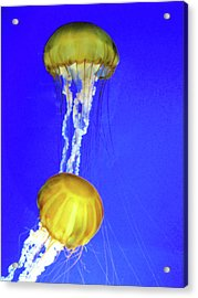 Two Gold Jellys Acrylic Print
