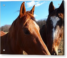 Two Horses In Love Acrylic Print by Robert Margetts