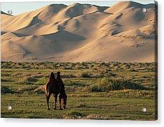 Two Humped Bactrian Camel In Gobi Desert Acrylic Print