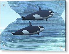 Two Killer Whales Swim Around Submerged Acrylic Print by Corey Ford