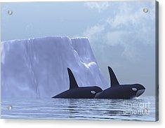 Two Killer Whales Swim Near An Iceberg Acrylic Print