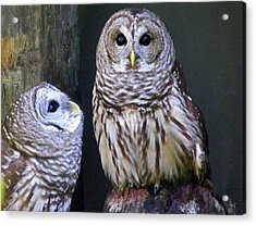 Two Little Owls Acrylic Print