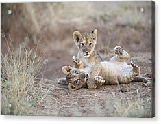 Two Male Lion Cubs Wrestle On The Trail Acrylic Print by Mark C. Ross