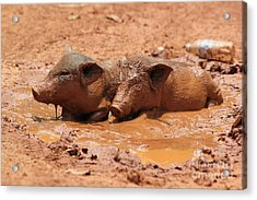 Acrylic Print featuring the photograph Two Pigs In A Puddle by Nola Lee Kelsey