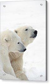Two Polar Bears Ursus Maritimus Showing Acrylic Print by Richard Wear