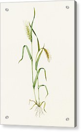 Two-row Barley (hordeum Distichum) Acrylic Print by Lizzie Harper