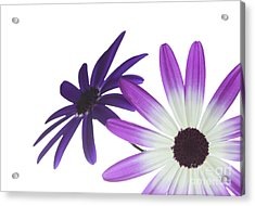 Two Senetti's Acrylic Print by Richard Thomas