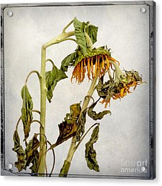 Two Sunflowers Acrylic Print by Bernard Jaubert
