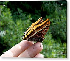 Acrylic Print featuring the photograph Two Tailed Pasha by Lainie Wrightson