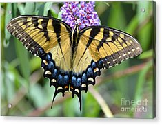 Two Tailed Swallowtail Acrylic Print by Kathy Gibbons