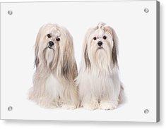 Two White Lhasa Apso Puppies St. Albert Acrylic Print by Corey Hochachka