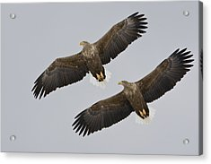 Two White-tailed Eagles In Flight Side Acrylic Print by Roy Toft