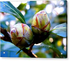 Two Young Camellia's Acrylic Print