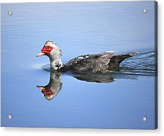 Acrylic Print featuring the photograph Ugly Duckling by Penny Meyers