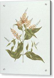 Umtar - Buddleia Polystachya Acrylic Print by James Bruce