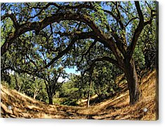 Under The Oak Canopy Acrylic Print by Donna Blackhall
