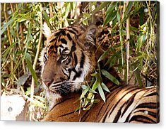 Under The Watchful Eye Of The Tiger Acrylic Print