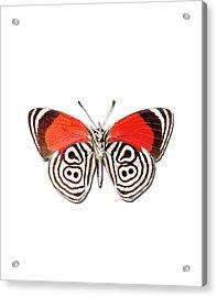Underside Of The Meadow Wanderers Butterfly Acrylic Print by MajchrzakMorel