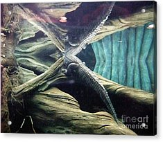Underwater Reflection Of An Alligator Surfacing Acrylic Print by Jim Fitzpatrick