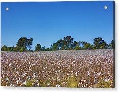 Union Grove Cotton Field Acrylic Print by Barry Jones
