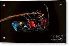 Unknown Moth Acrylic Print
