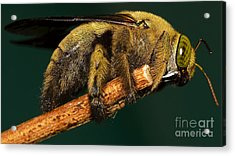 Unknown Wild Bee Acrylic Print