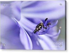 Unusual Fly On Agapantha Stamen Acrylic Print by Kaye Menner