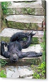 Up Close Lazy Chimp Acrylic Print by Lori Johnson